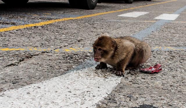 Affe auf dem Affenfelsen in Gibraltar