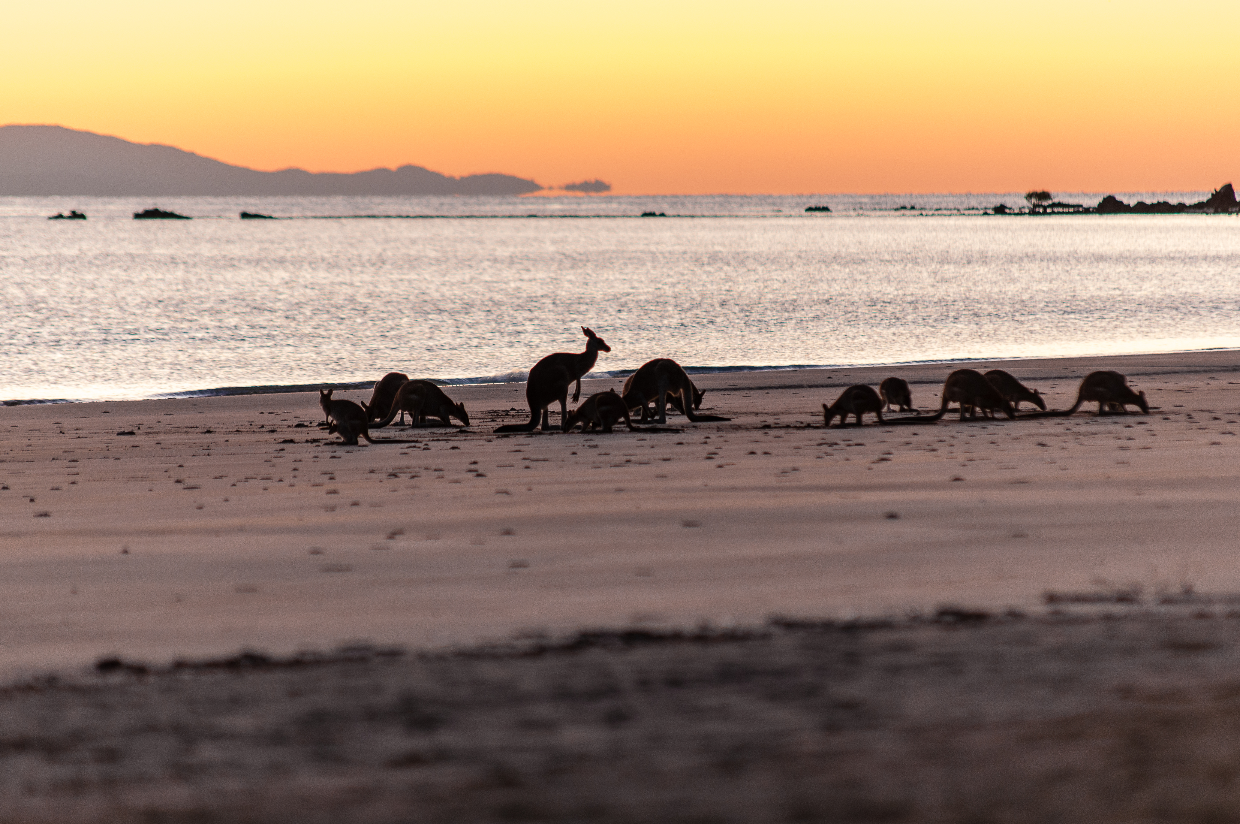 Cape Hillsborough Kangaroos (5 von 19)