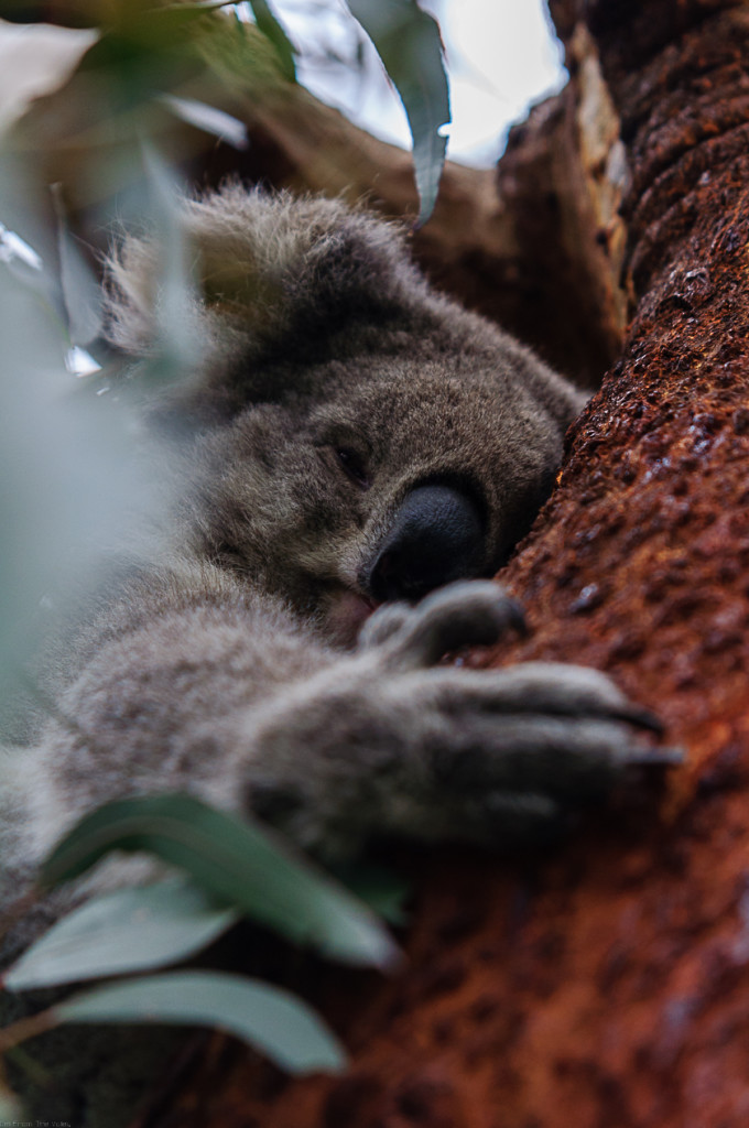 Phillip Island Koala Conservation Centre Sleeping Koala in Tree