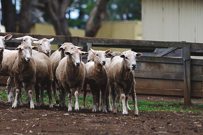 Sheep on Churchill Island