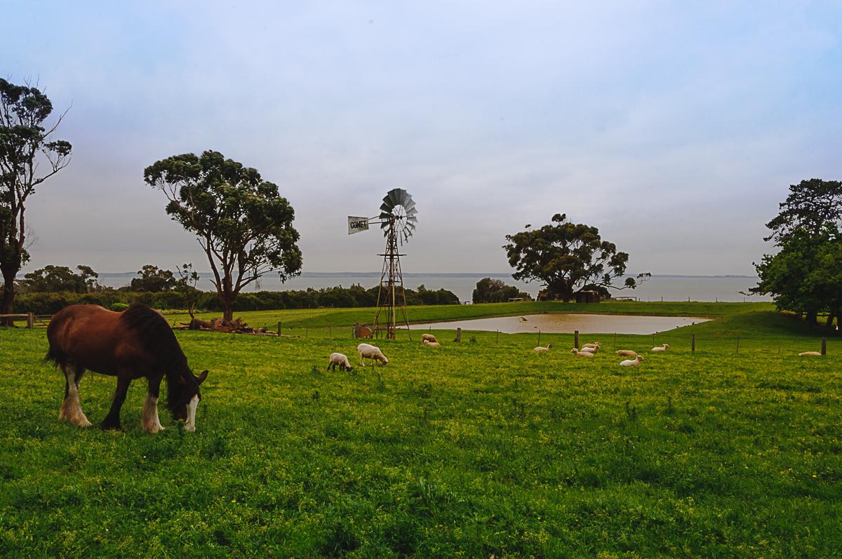 Schafe und ein Pferd auf Churchill Island bei Melbourne in Australien
