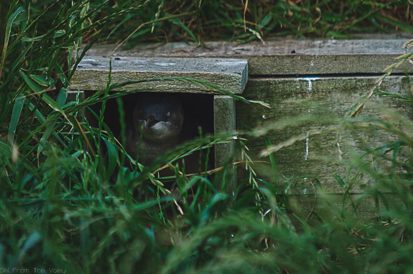 Pinguin in seinem Nest auf Phillip Island