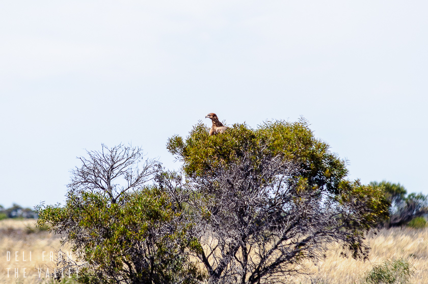 Wedge Tailed Eagle on the Nullarbor