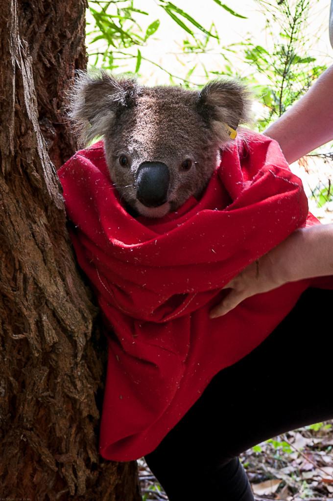 Koala Hospital Port Macquarie 840 (19 von 32)
