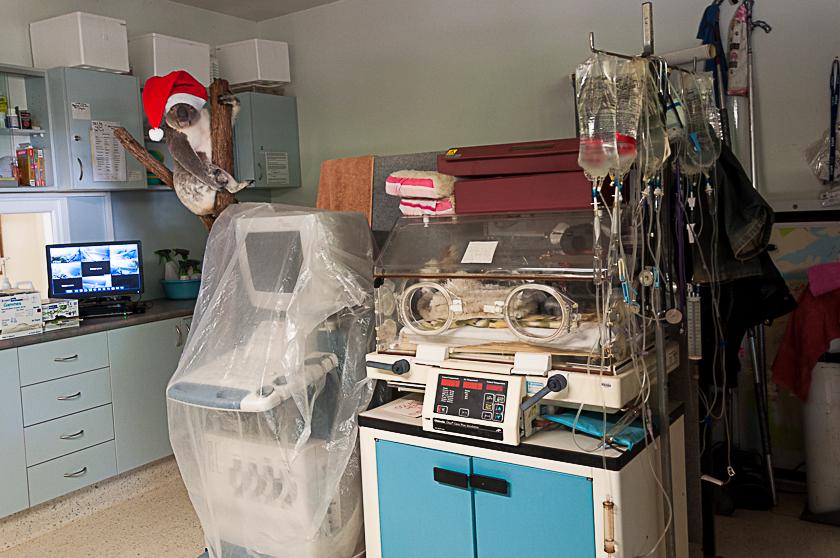 Koala Hospital Port Macquarie 840 (25 von 32)