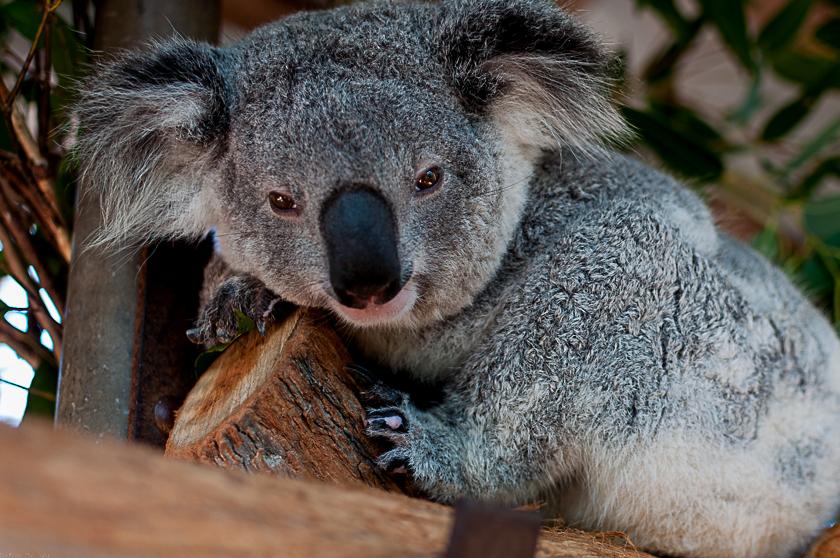 Zenani, eine Koala-Dame im Koala-Krankenhaus