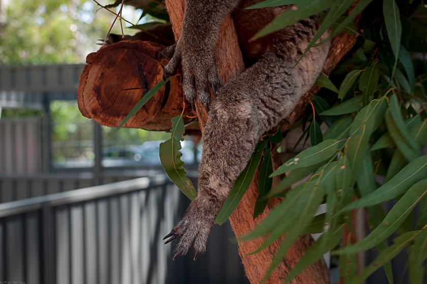 Koala Hospital Port Macquarie 840 (6 von 32)