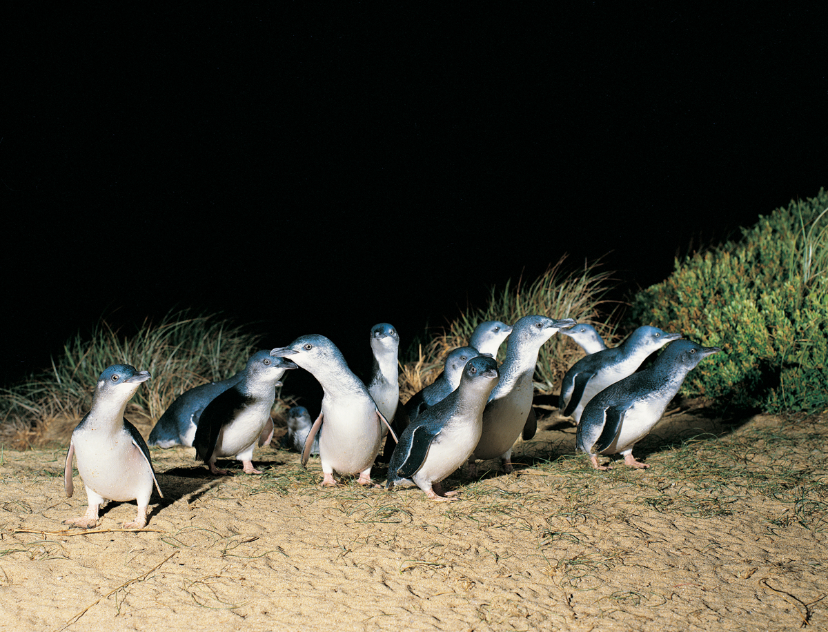 Penguins on Parade Phillip Island Copyright Tourism Victoria Scancolour