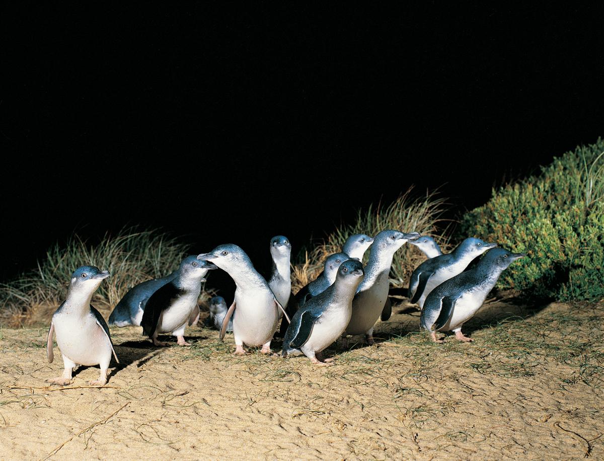 Penguins on Parade Phillip Island Copyright Tourism Victoria Scancolour