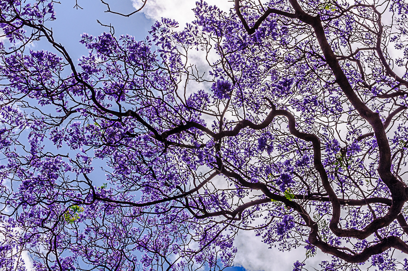 Jacaranda Tree in Perth