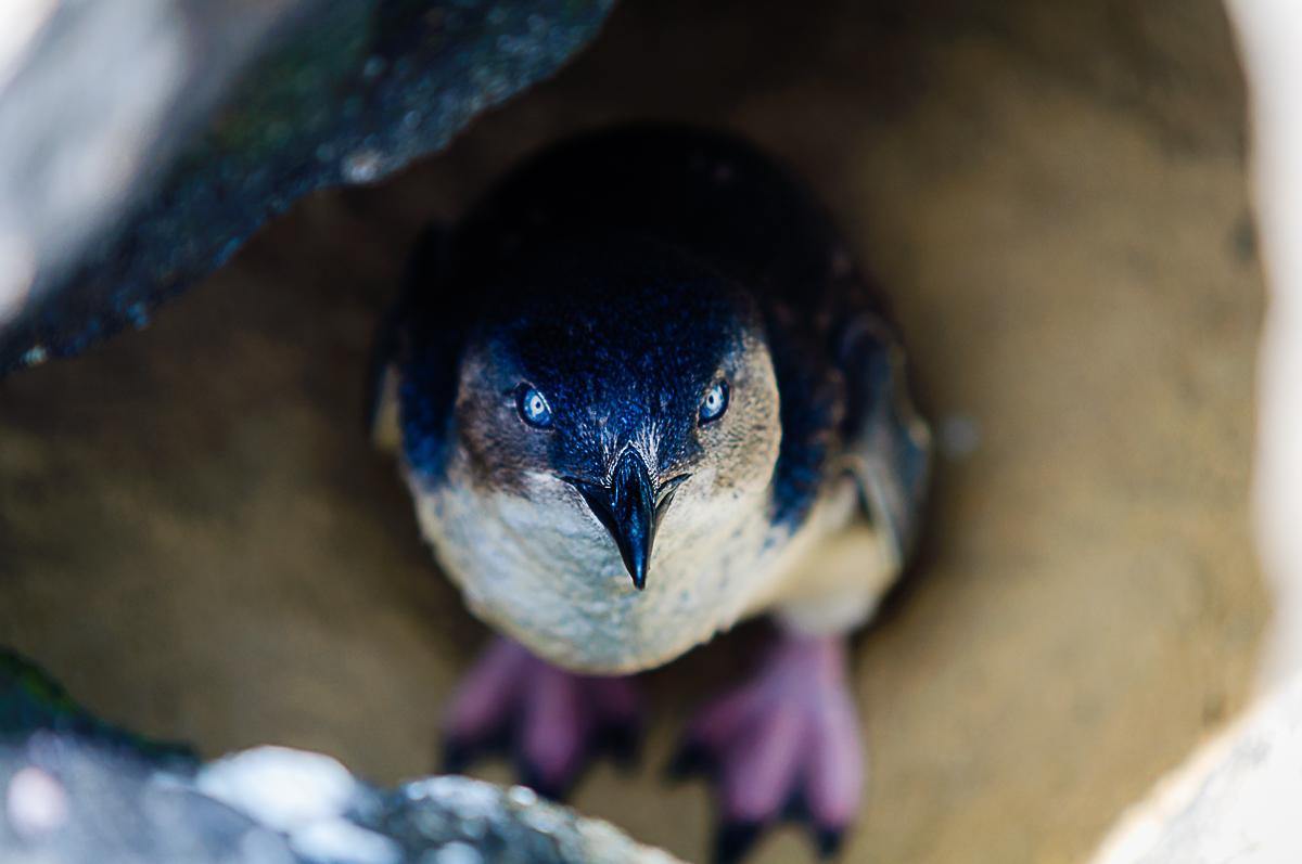 Little Penguin St Kilda